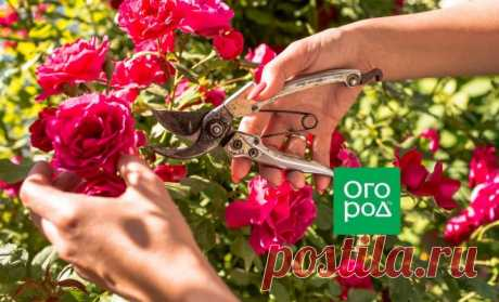 Уход за розами после цветения: 5 обязательных процедур   Розы (Огород.ru)