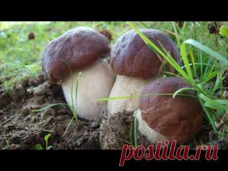 Выращивание белых грибов в домашних условиях как идея для бизнеса