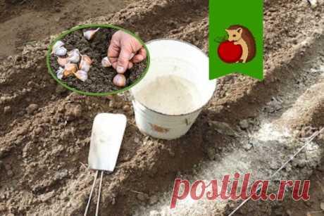 Какие удобрения нельзя вносить под посадку озимого чеснока и почему?   садоёж   Яндекс Дзен