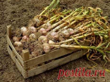 Конец июля – пора убирать озимый чеснок с грядки | Капуста, лук, чеснок (Огород.ru)