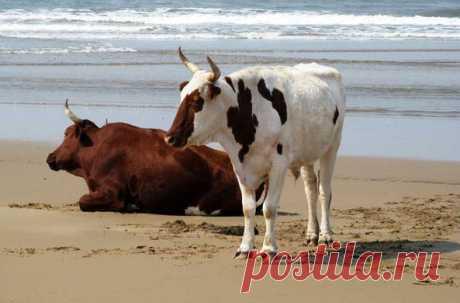 Противостояние коров и нудистов решилось в пользу первых