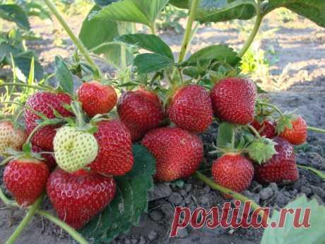 Чем подкормить клубнику во время плодоношения для получения мясистых и сладких ягод?   Наша Дача   Яндекс Дзен