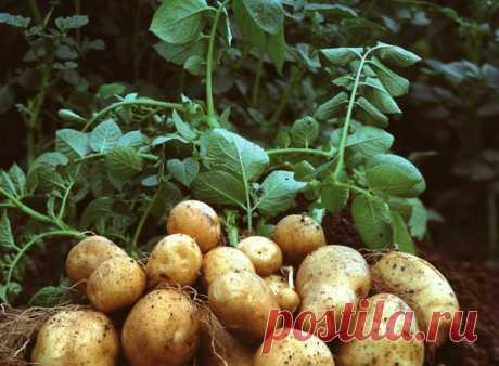 Выращивание картофеля в траншеях — 6 соток