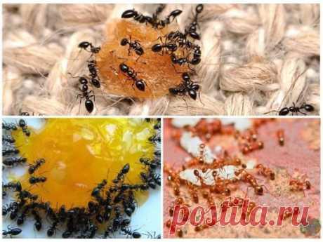 БОРЬБА С МУРАВЬЯМИ.  ОЧЕНЬ ЭФФЕКТИВНЫЙ СПОСОБ!  Садовые муравьи наносят серьезный вред растениям, питаясь их соком. Очень большой урон саду приносит также симбиоз муравьев и тлей. Муравьи защищают тлю от божьей коровки, а взамен получают сахар. Борьба с муравьями необходима, если они наносят ущерб вашему саду или огороду. Если же они вам не досаждают, то советуем не вести борьбу с муравьями и не уничтожать насекомых.  1.Для борьбы с муравьями используют пижму, полынь горькую, мяту полевую, ан