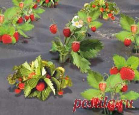 Укрывной материал для клубники от сорняков: популярные виды, характеристика, как и когда укрывать, выращивание на укрывном материале в теплице