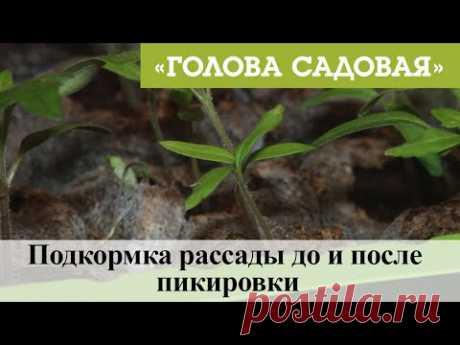 Голова садовая - Подкормка рассады до и после пикировки