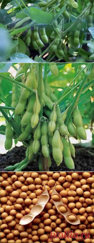 В каких условиях растет соя, посадка на приусадебном участке | Дача - впрок