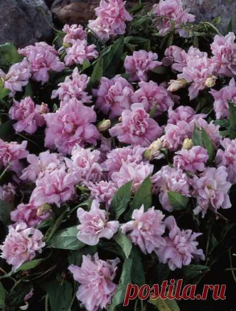 Садовые редкости: калистегия махровая   Цветочная душа   Яндекс Дзен
