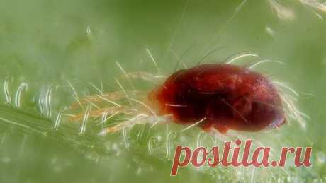 Паутинный клещ огурцов: 5 способов борьбы Паутинный клещ является видом из семейства паутинных. Данный представитель вреден тем, что высасывает соки из листьев растений, после чего они окрашиваются в желтый цвет, а впоследствии сворачиваются, засыхают и опадают.