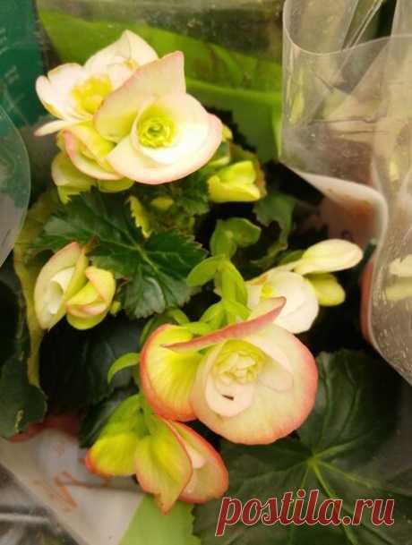 Клубневая бегония - как выбирать и сажать клубни цветов.