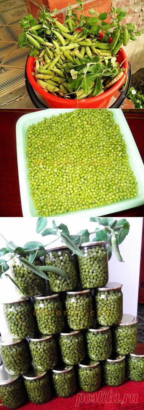 Консервированный зеленый горошек - можно и не покупать в магазине