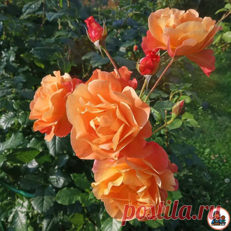 Как добиться от розы роскошного цветения? Важные мероприятия в июне, которые нельзя пропустить, чтобы не остаться без цветов   Цветущий сад   Яндекс Дзен