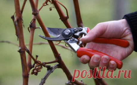 Уход за виноградной лозой в марте — Огород без хлопот