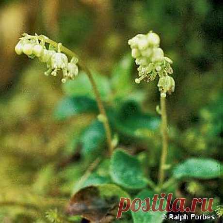 Ортилия однобокая (рамишия) Боровая матка (фото)