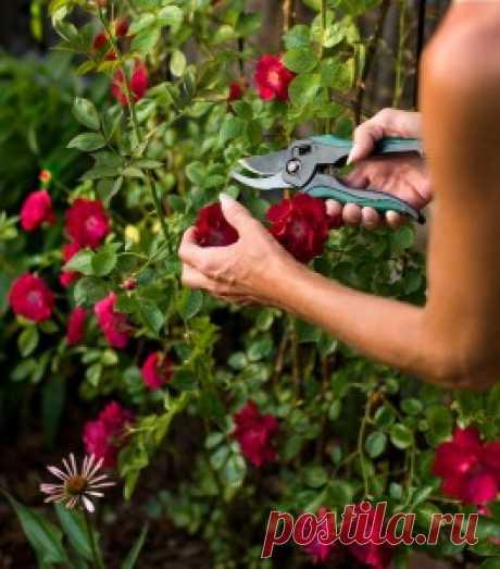 Летняя обрезка роз и декоративных кустарников | Дача - впрок