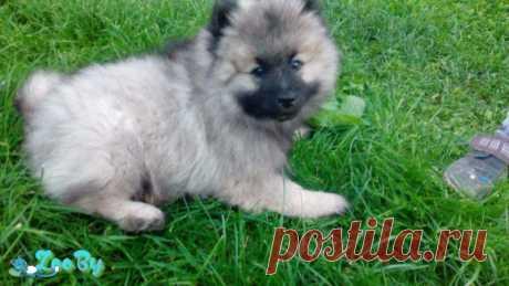 Не дорого щенок, 2 мес.Возможна доставка купить в Минске на сайте объявлений