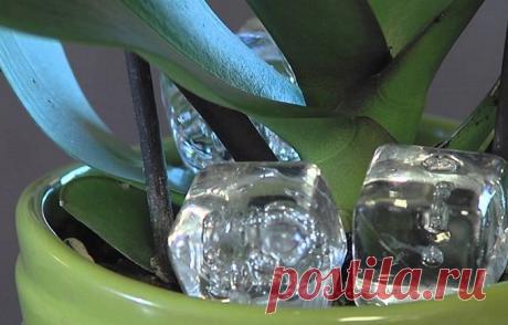 Положите кубик льда в горшок с орхидеей, и увидите как это поможет ей! Самый частый гость наподоконнике всемействе орхидей— это роскошный фаленопсис, разновидностей которого очень много. Ичтобы ваша орхидея продолжала радовать глаз своим ростом ицветением, следует ухаживать заней правильно изнать несколько...