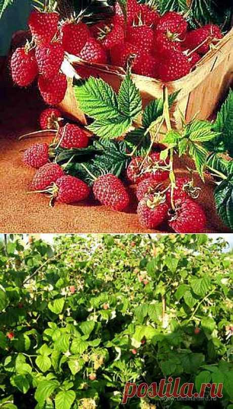 Секреты высокой урожайности малины.