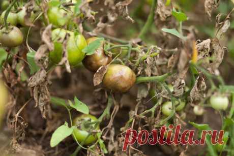 Йод от фитофторы и других грибных болезней растений