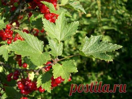Черенкование красной и белой смородины в августе