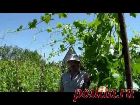 Виноград  Побеги переросли верхнюю проволоку
