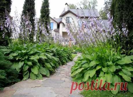 Хосты - выращивание и уход - Цветочки - медиаплатформа МирТесен