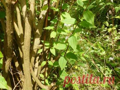 Как обрезать чубушник (садовый жасмин) после цветения | Деревья и кустарники (Огород.ru)