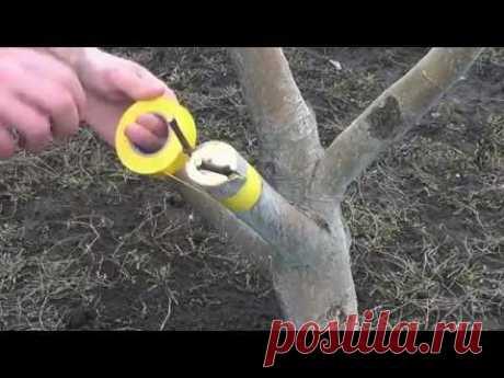 Apple-tree inoculation. Grafting Apple trees