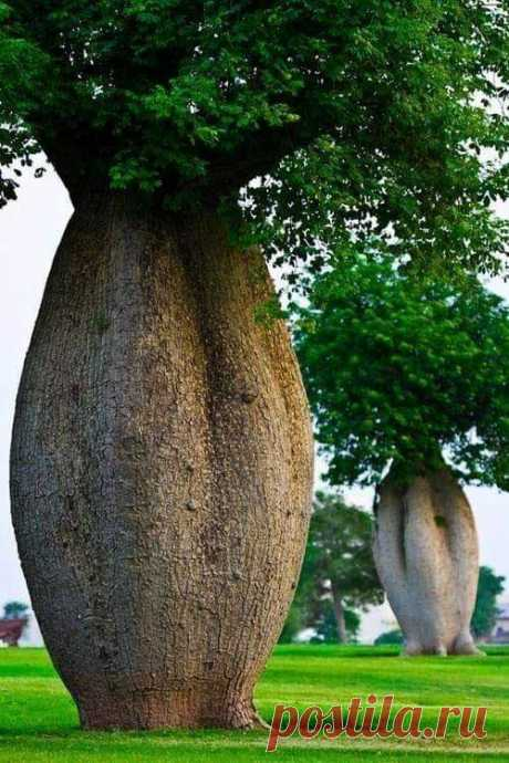 Брахихитон наскальный, или бутылочное дерево Brachychiton rupestris — дерево семейства Мальвовые. Эндемик Квинсленда (Австралия)  Ствол достигает в высоту 15 м, расширяется внизу до 1,5—2 м и издали похож на гигантскую бутыль. В расширенной части ствола бутылочного дерева накапливается вода, которая расходуется в сухое время года