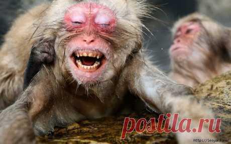 Снежные обезьянки балдеют в горячих источниках..