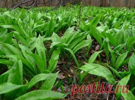 Черемша — выращивание и полезные свойства. Фото — Ботаничка.ru