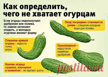 6 ошибок, которые приводят к пожелтению и опаданию завязей огурцов. | Просветленный Агроном | Яндекс Дзен