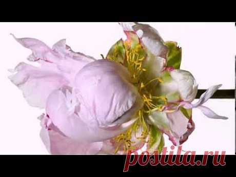 Невообразимо красивые живые цветы, для Вас читатели! | Поздравления и тосты