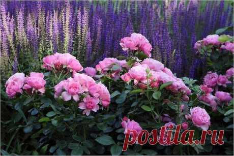 Лучшие цветы для сада с приятным ароматом