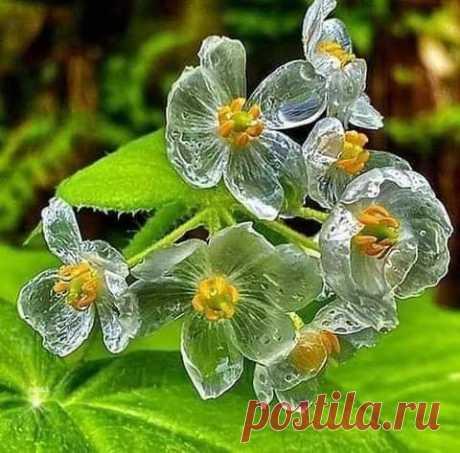 Цветок,лепестки которого во время дождя становятся прозрачными...Двулистник Грея!Растут на влажных ,лесистых горах,в холодных регионах Китая и Японии!