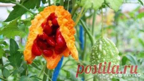 Семена момордики купить в Ставропольском крае на Avito — Объявления на сайте Авито