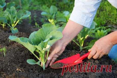Узнаем у опытных огородников 12 секретов выращивания рассады капусты