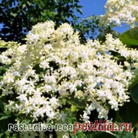 Цветки бузины - полезные свойства и противопоказания