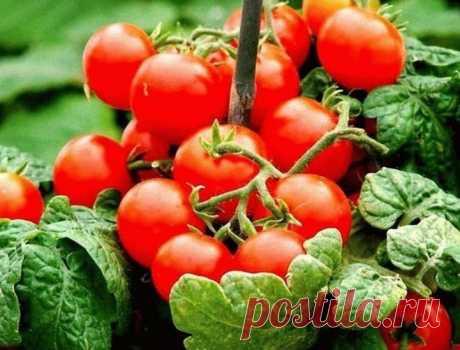 """Помидоры для ленивых Помидоры для """"ленивых"""" Этот способ выращивания помидоров мне довелось увидеть в прошлом году на одном из соседских участков. Увиденное просто поразило: на огороде, на расстоянии примерно 1,2 метра дру…"""