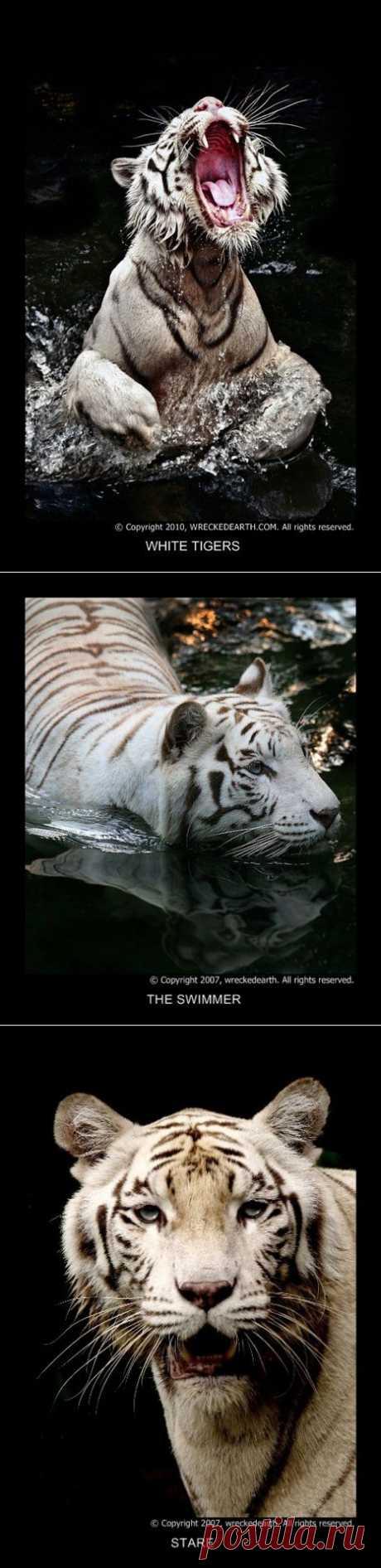 Несколько сцен из жизни белых тигров. Фотограф Birte Ragland.