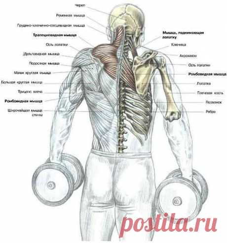Упражнения на трапецию. комплекс. упражнения. картинки.