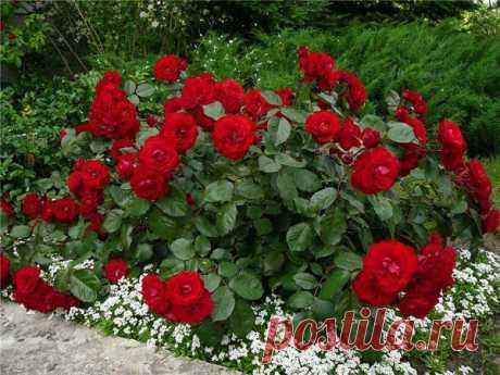 Идеальные соседи розы на клумбе или что посадить рядом с розами. | tobehome.ru