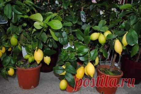 Как вырастить лимонное дерево - Полезное - ГОРНИЦА -блоги, форум, новости, общение