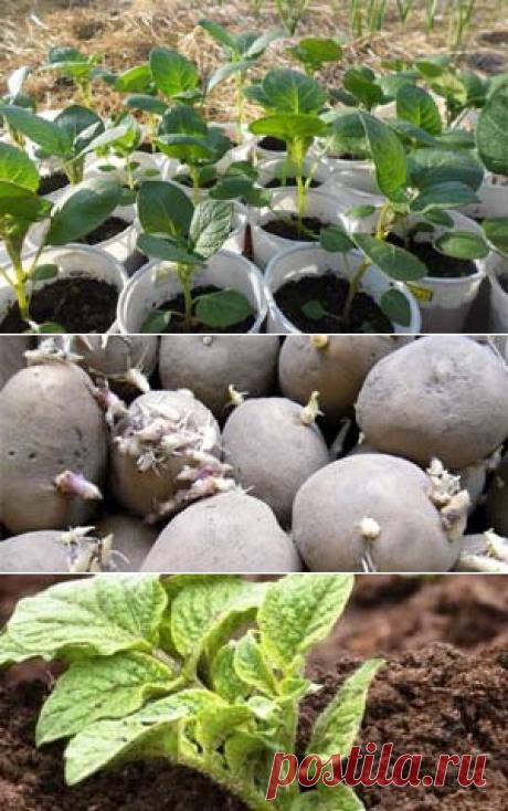 Как вырастить рассаду картофеля из семян