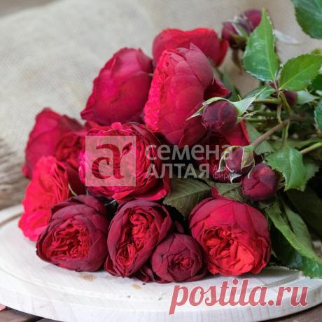 "Роза с ароматом малины! Роза ""Адажио"" | Дачные советы. Семена Алтая | Яндекс Дзен"