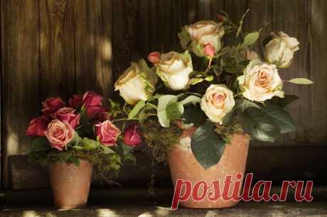Роза чайная: уход в домашних условиях, посадка, полив и размножение . Милая Я