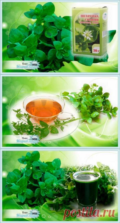 Мокрица трава лечебные свойства, как выглядит, применение, заготовка