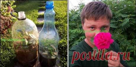 Укоренение в бутылке черенков роз