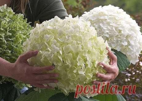 LA CULTIVACIÓN DE LA HORTENSIA \u000d\u000a\u000d\u000a¡Conserven para no perder! \u000d\u000aEn este artículo la conversación irá sobre la hortensia. Gracias a los arbustos hermosos, que se distinguen del florecimiento pomposo y largo la hortensia realmente es el mejor adornamiento de la parte de campo. Y muchos veraneantes es completamente justo la llaman «la señora hermosa del jardín».\u000d\u000aMostrar por completo …
