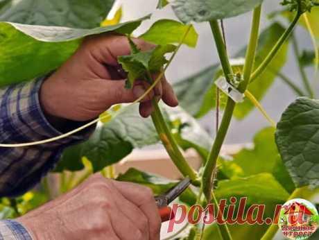 Формировка огурцов  1. На первом этапе на нижней части растения в пазухах 3-5 листьев производится «ослепление». Удаляются все завязи и побеги, которые образуются в пазухах этих листьев. Это нужно для того чтобы растение направило все силы для формирования корневой системы, которая смогла бы в дальнейшем «прокормить» все растение.  2. На следующем этапе в пазухах следующих 3-5 листьев оставляем завязи, боковые побеги удаляем.   3. Дальше происходит все то же самое, но кром...